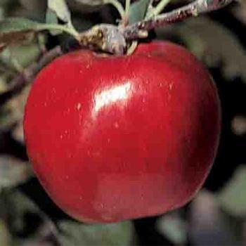 Fameuse Apple