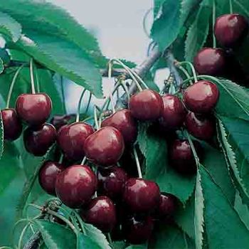 Black Gold Sweet Cherry