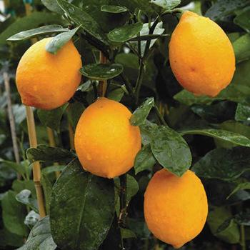 Improved Meyer Lemon Hybrid