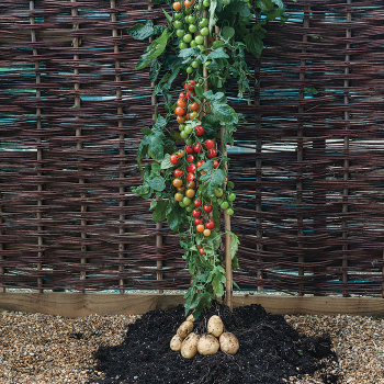 Ketchup 'n' Fries Grafted Plant