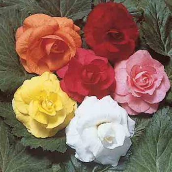 Double Roseform Mixed Begonias