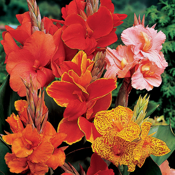 Victorian Mix Cannas