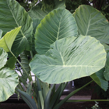 Gigantea 'thai Giant' Colocasia