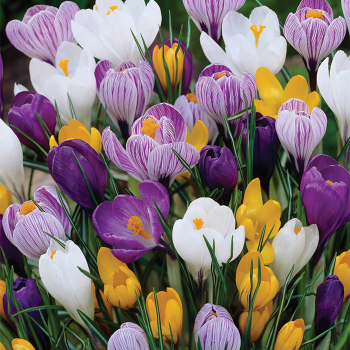 Giant Flowered Crocus Mix