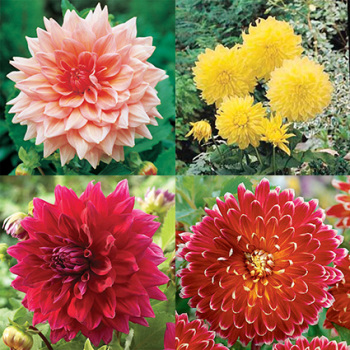 Dinnerplate Dahlia Collection