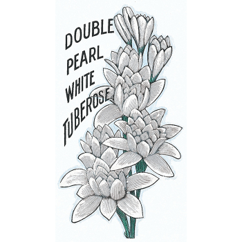 Double Pearl Tuberose