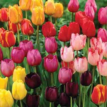 Rainbow Parade Mix Tulip