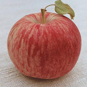 Apple Trees, Semi-Dwarf