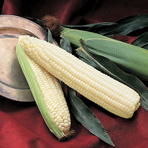 Sweet Corn - Normal
