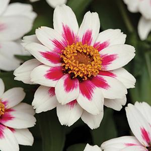 AAS Winning Flowers