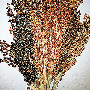 Sorghum Broom Corn