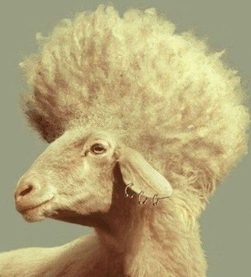 Картинки смешной овцы