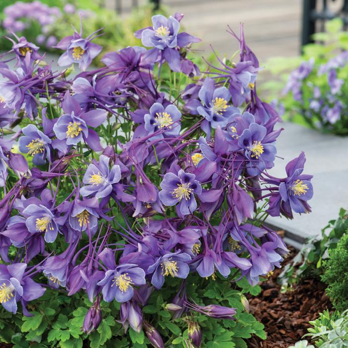 Aquilegia Earlybird Purple Blue