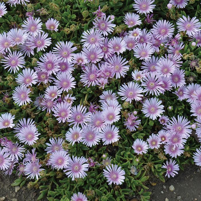 Delosperma Lavender Ice