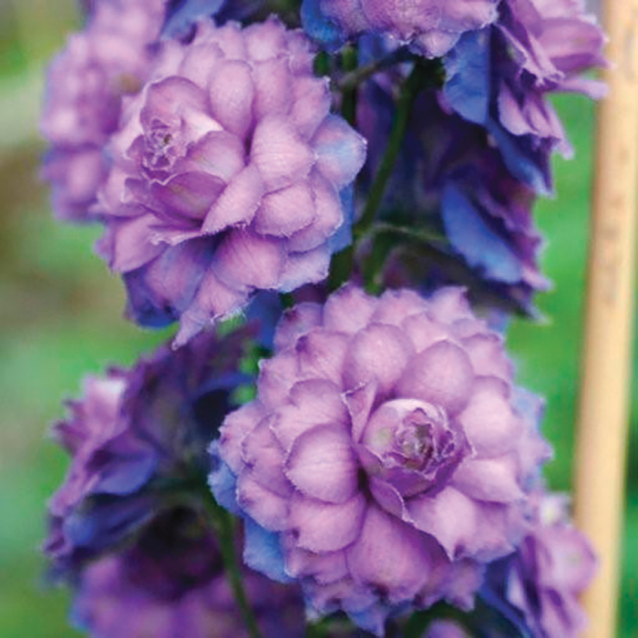 Delphinium Sweet Sensation