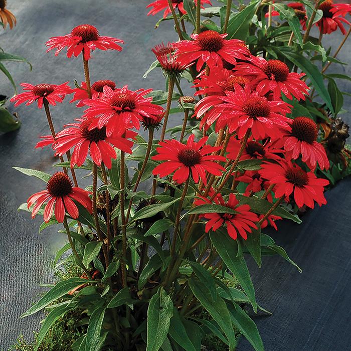 Echinacea Prima Ruby