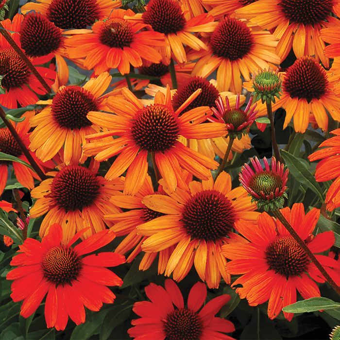 Echinacea Kismet Intense Orange