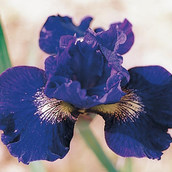 Siberian Iris Teal Velvet