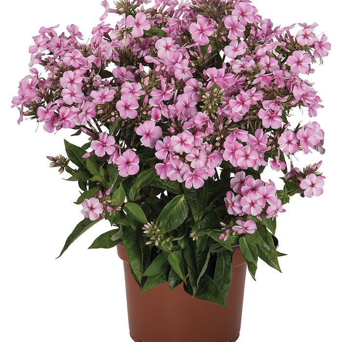 Phlox Early Start Pink Candy