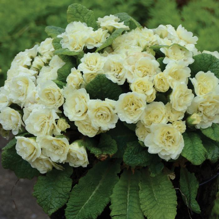 Cream Belarina Primula