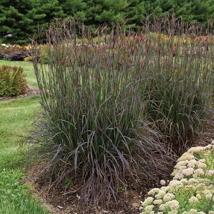 Grass Andropogon Blackhawks