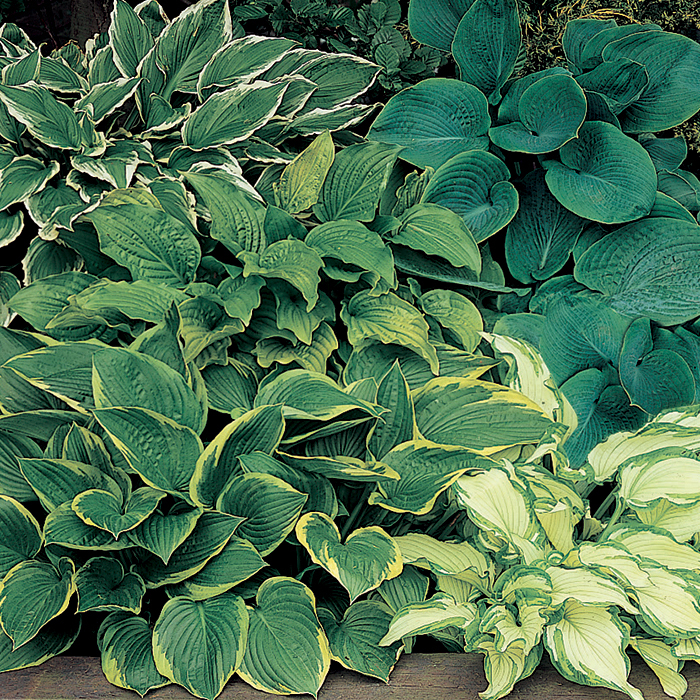 Hosta Grab Bag Special