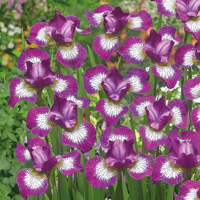 Siberian Iris Currier