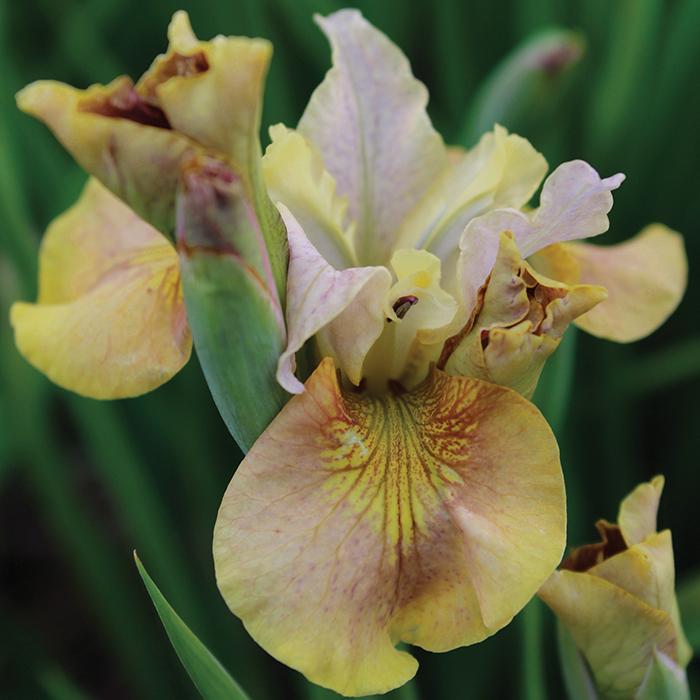 Siberian Iris White Amber