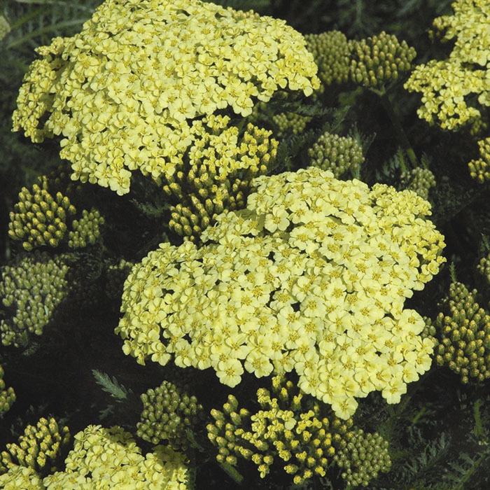 Achillea Sunny Seduction