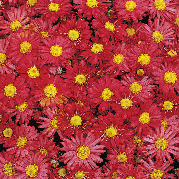 Chrysanthemum Mammoth Red Daisy