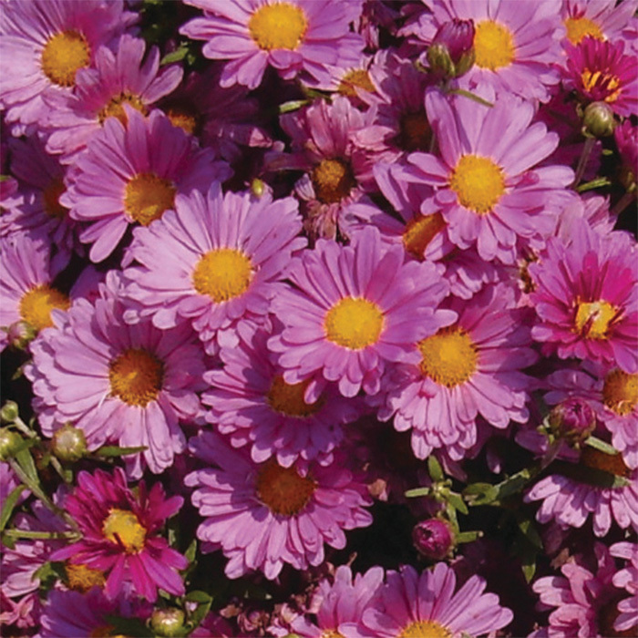 Chrysanthemum Mammoth Lavender Daisy