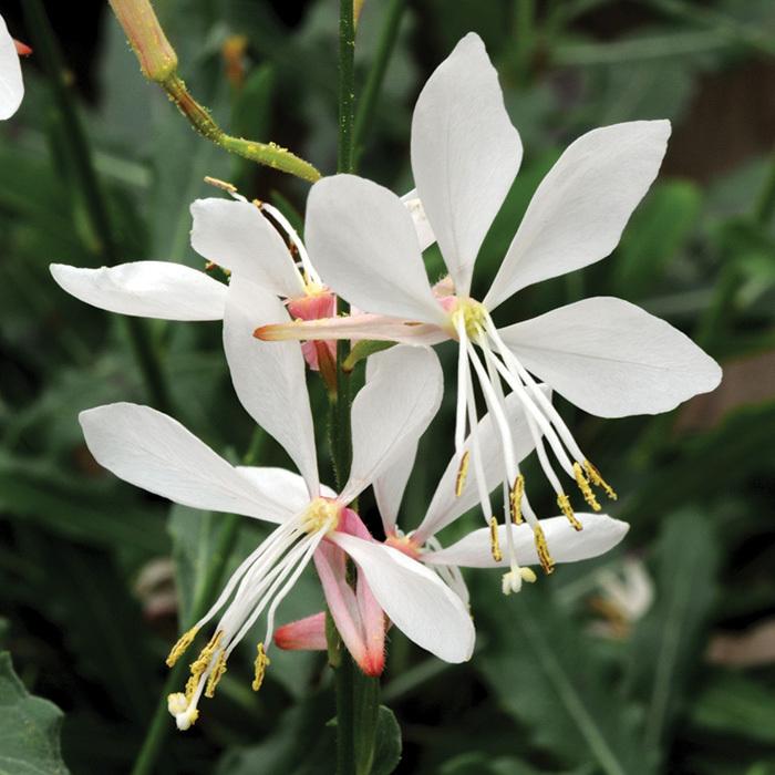 Gaura Sparkle White