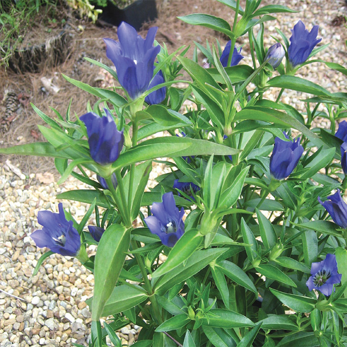 True Blue Gentiana