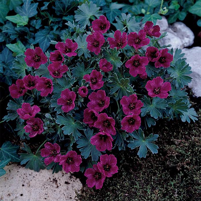 Purple Pillow Geranium