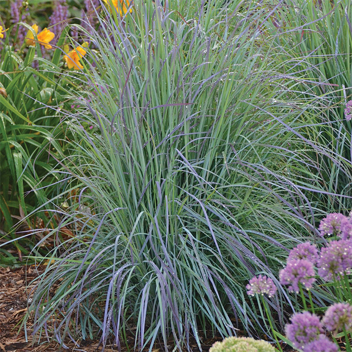 Twilight Zone Ornamental Grass