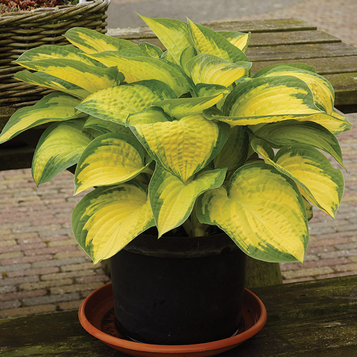 Orange Marmalade Hosta