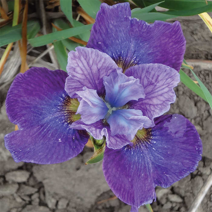 Siberian Iris Roaring Jelly