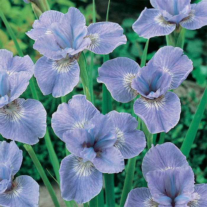 Siberian Iris Dear Delight