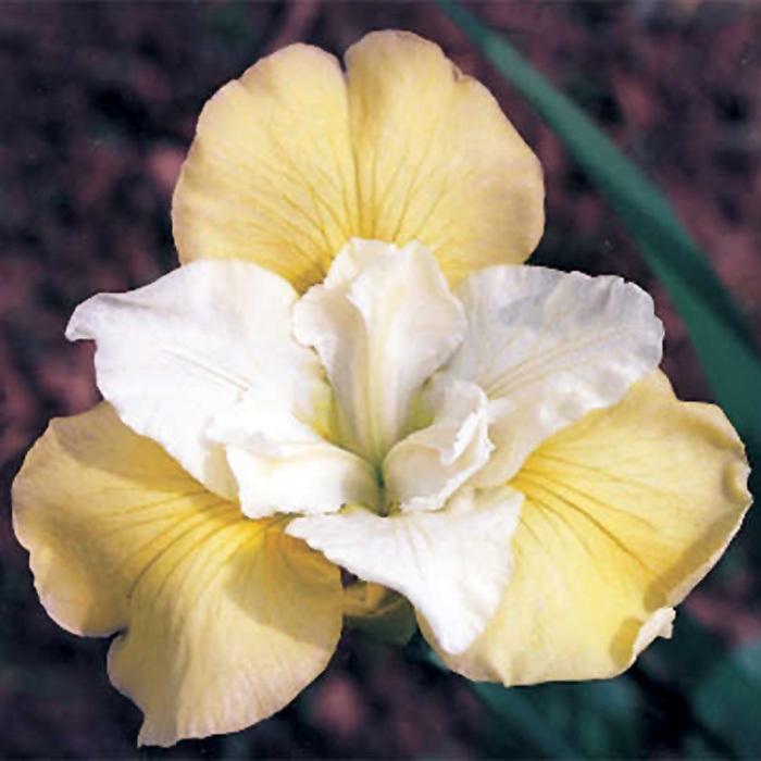 Isabelle Siberian Iris