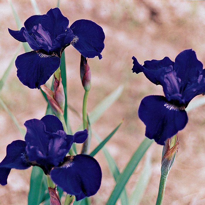 High Standards Siberian Iris