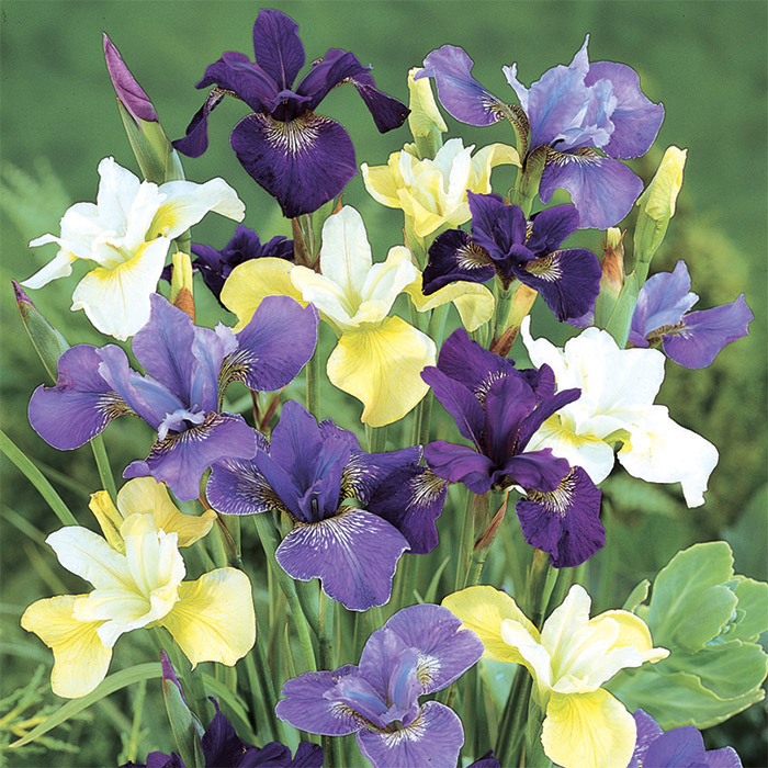 Naturalizing Siberian Iris Mix