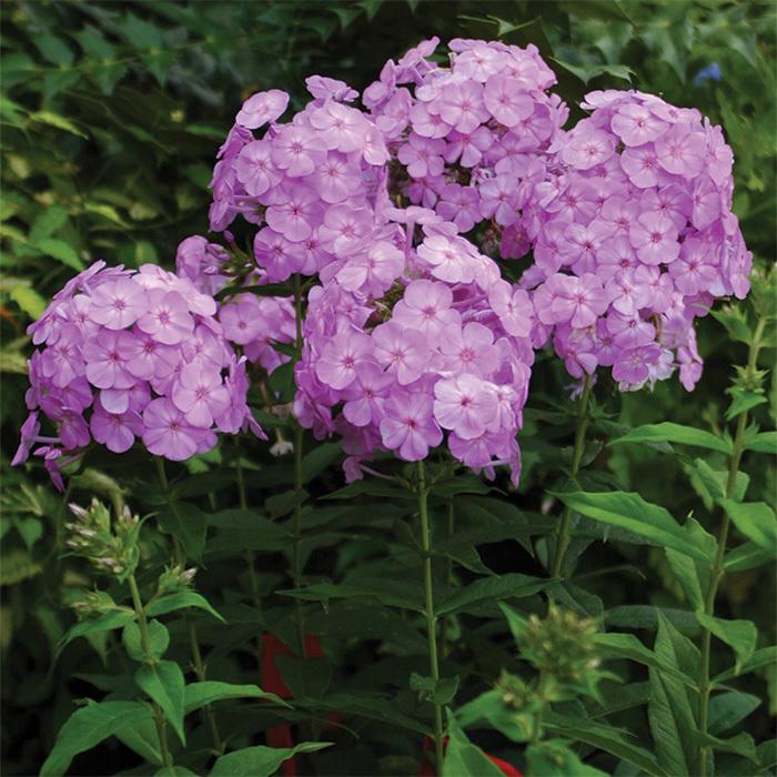 Phlox David's Lavender
