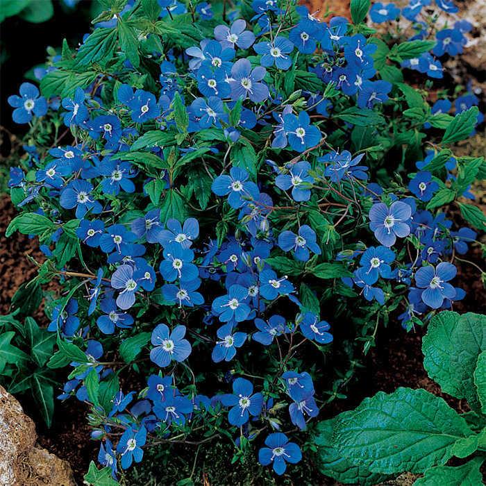 Veronica Bergen's Blue