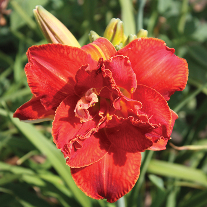 Daylily Moses' Fire
