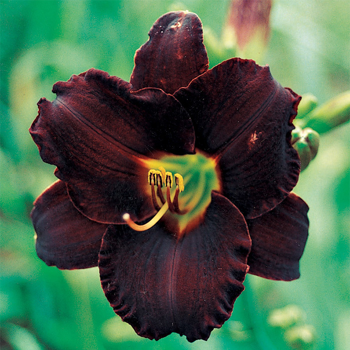 Daylily Dominic