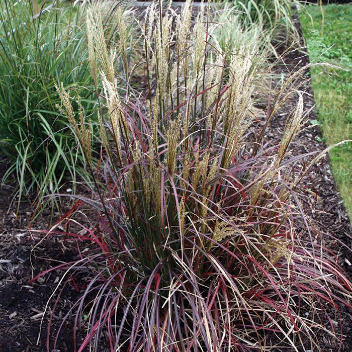 Grass Miscanthus Little Miss