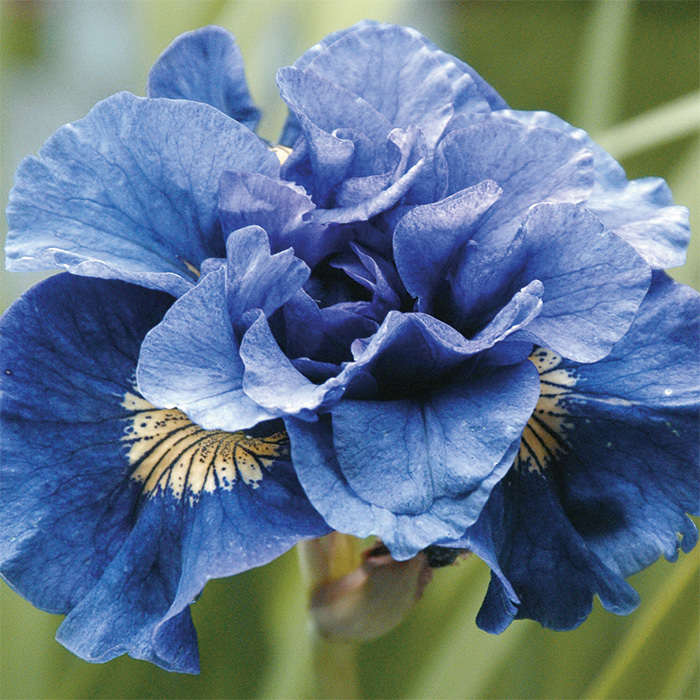 Siberian Iris Concord Crush
