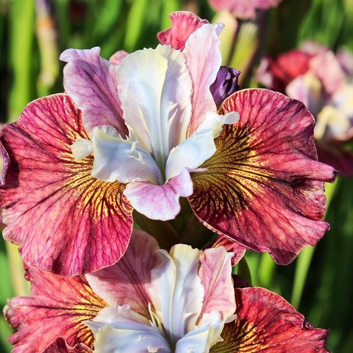 Siberian Iris Painted Woman