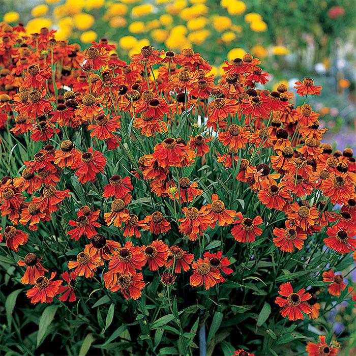 Moerheim Beauty Helenium