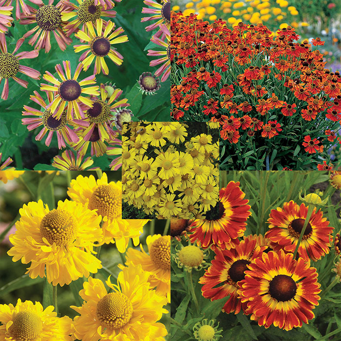 Helenium Collection (1 Ea Of 5)